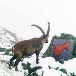 web_2017_SWV_Alpen_Plau_Steinbock1259_ret