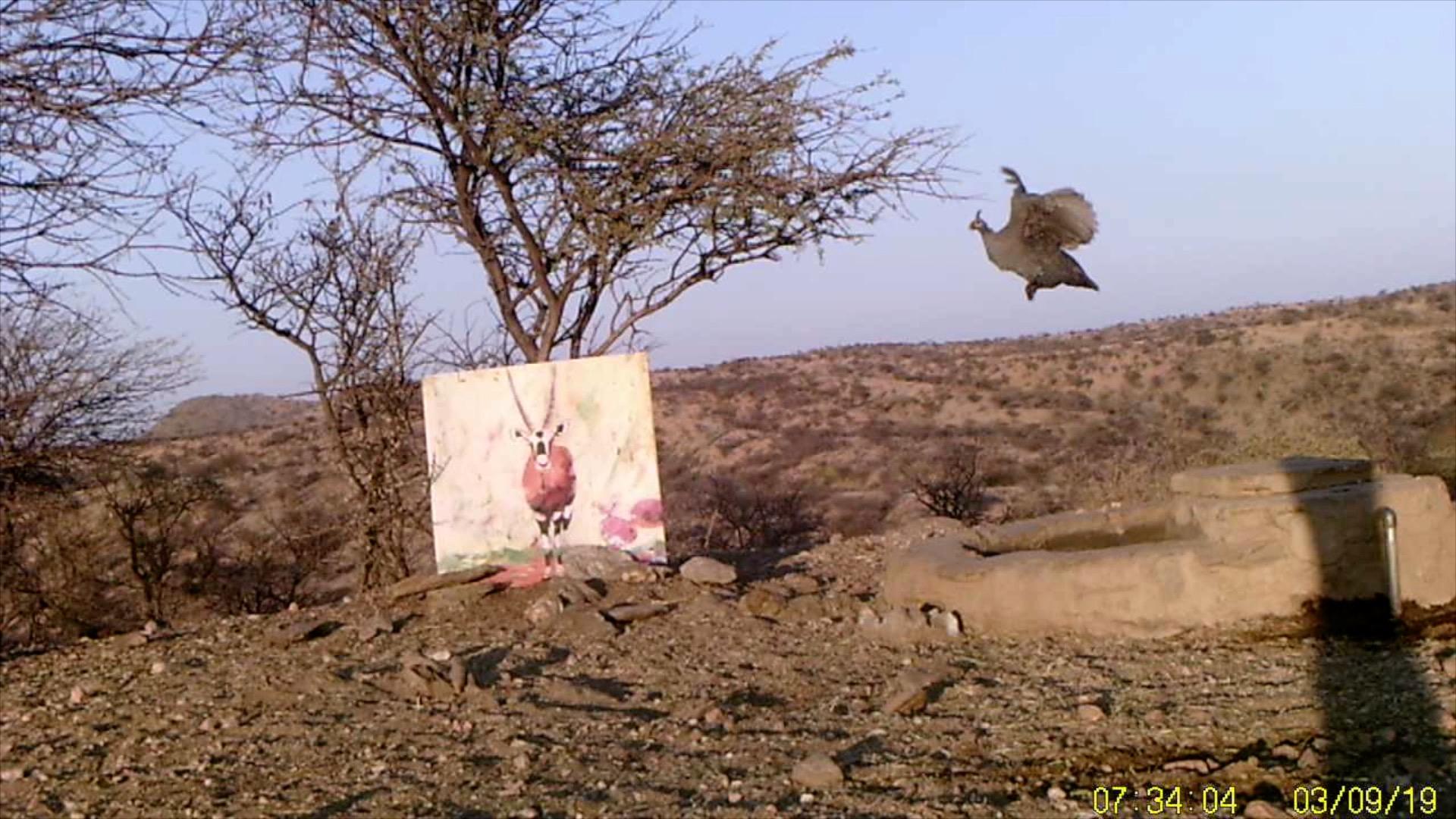 Filmstill SUPERWILDVISION Namibia 2019, Afrika, Kunstprojekt von Irene Mueller, Perlhuhn fliegt, Gemaelde Antilope