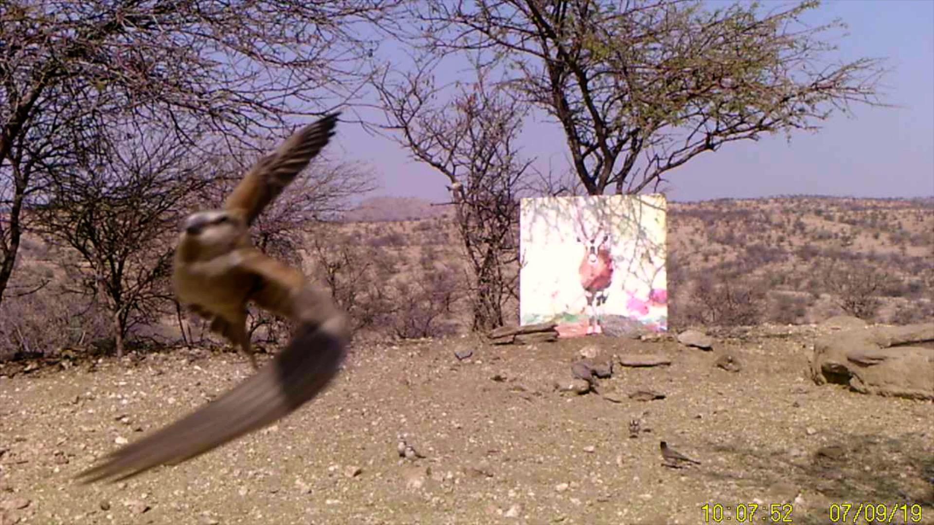 Filmstill SUPERWILDVISION Namibia 2019, Afrika, Kunstprojekt von Irene Mueller, Vogel Gemaelde Antilope
