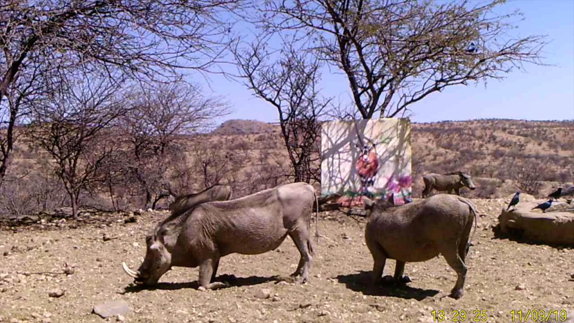 Filmstill SUPERWILDVISION Namibia 2019, Kunstprojekt von Irene Mueller, Warzenschweine mit Gemaelde