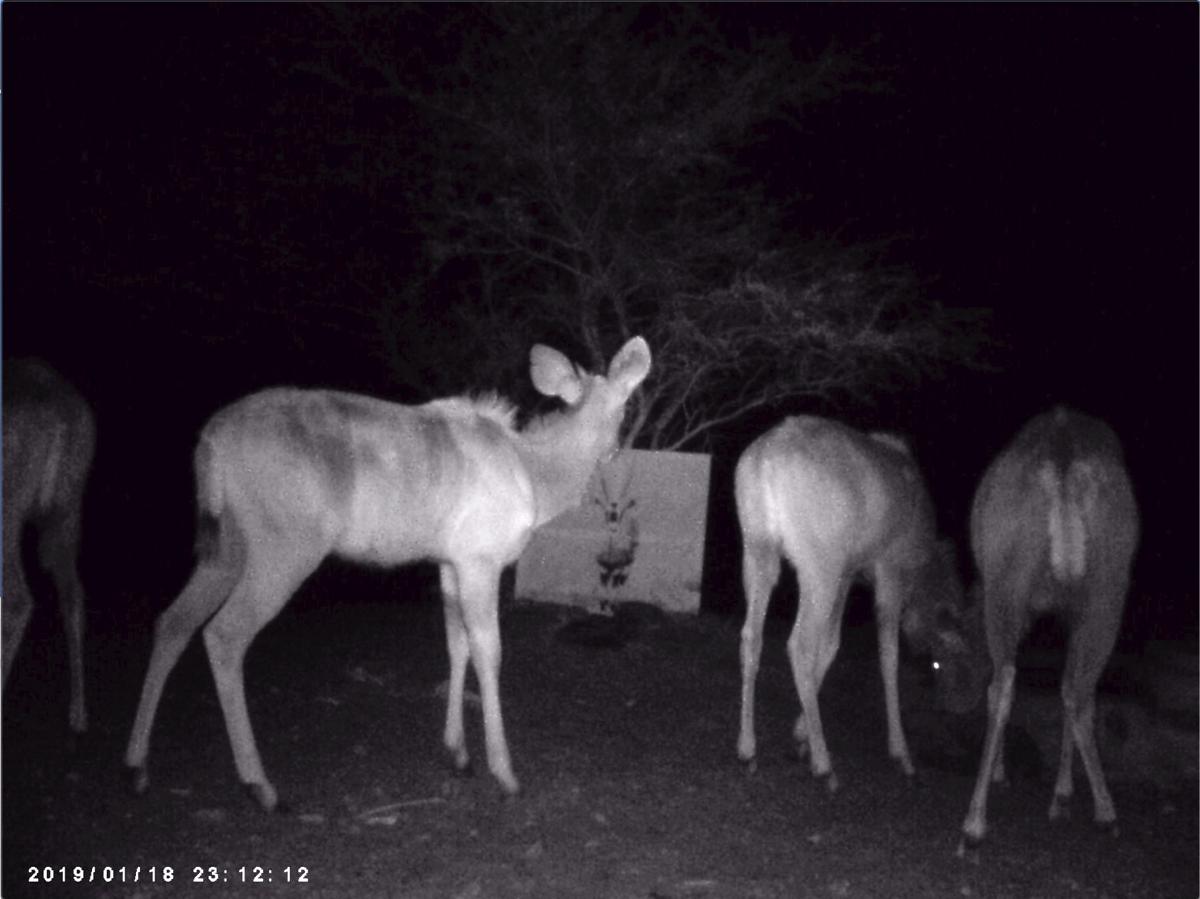 Filmstill SUPERWILDVISION Namibia 2019, Afrika, Kunstprojekt von Irene Mueller, Kudu betrachtet Gemaelde Antilope