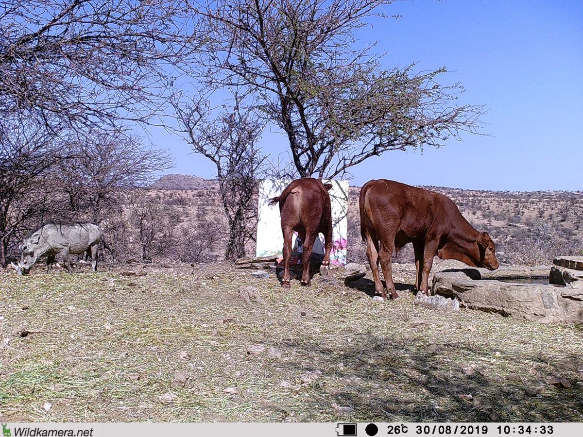 Filmstill SUPERWILDVISION Namibia 2019, Afrika, Kunstprojekt von Irene Mueller, Rind betrachtet Gemaelde Antilope