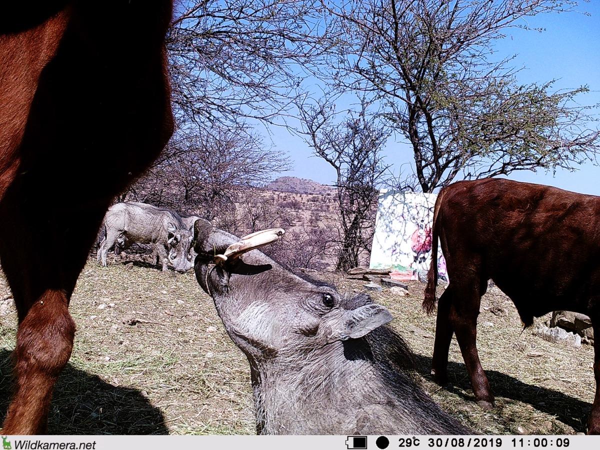 Filmstill SUPERWILDVISION Namibia 2019, Afrika, Kunstprojekt von Irene Mueller, Warzenschwein posiert, Gemaelde Antilope